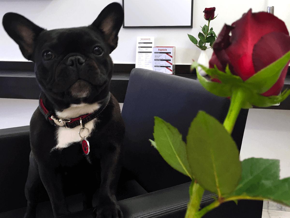Tag der roten Rose — Salonhund Emma schenkt jedem eine Rose